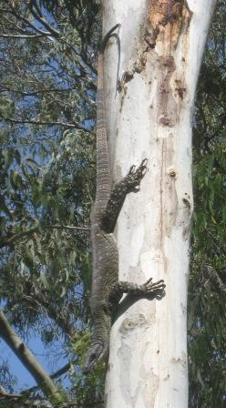 Lace Monitor in bush of Bribie Island