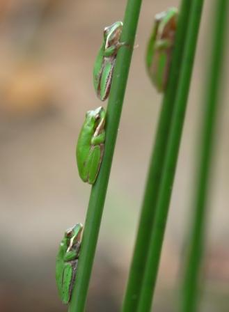 Wallum Sedge frogs
