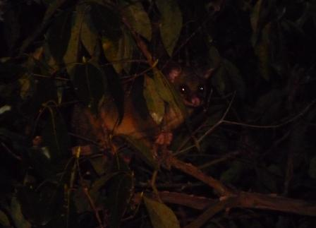Possum visiting at night.