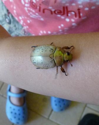 Nicole's Christmas Beetle.
