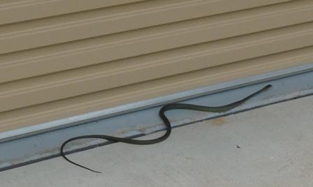 Snake moving before garage.