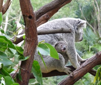 Koala with baby.