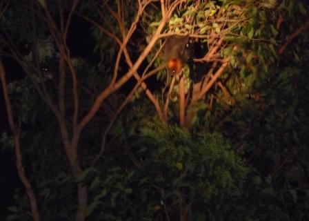 Flying Foxes in the evening visiting our BBQ.