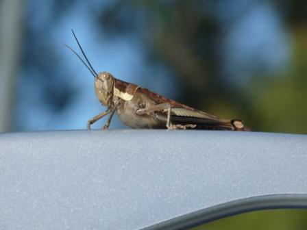 Grass Hopper on the Pajero.