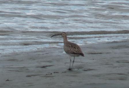 Eatern Curlew or Sea Curlew