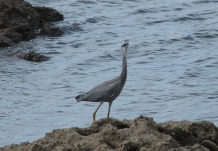 White-flaced Heron or Blue Crane