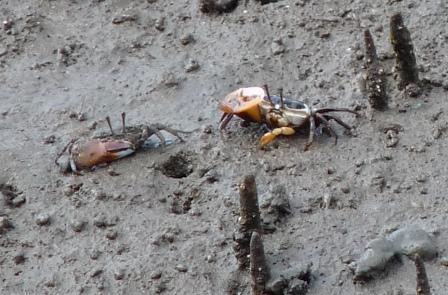 Crabs at Boondall Wetlands