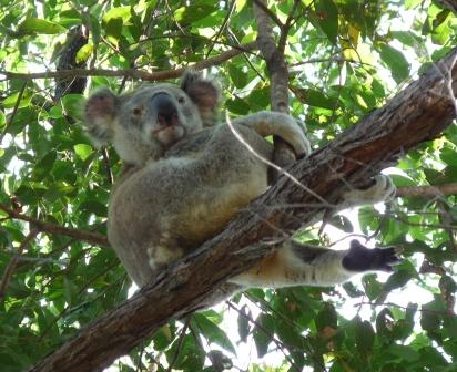 Another Koala watching us.