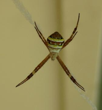 A St. Andrew's Cross Spider in the garden.