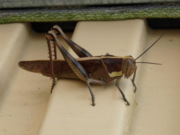 A grasshopper.