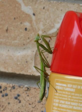 A  Garden Mantis.