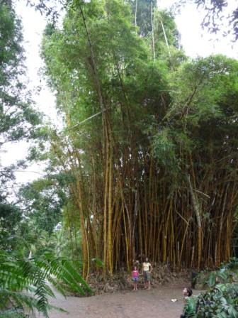High bamboo.
