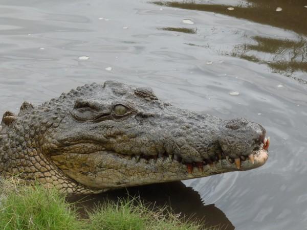 Croc at Koorana.