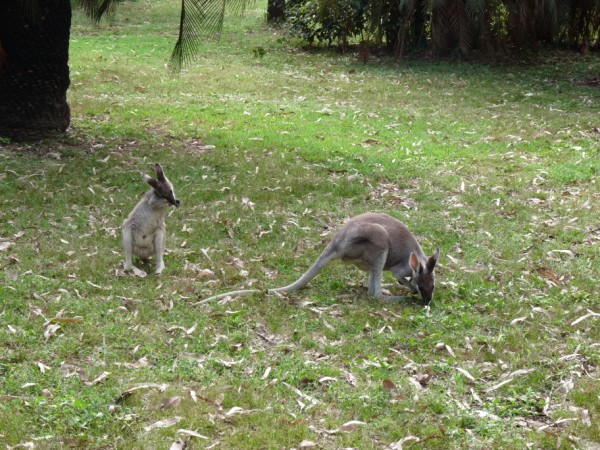 Kangaroos at the camp site.