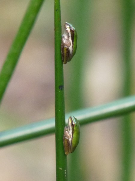 Two Wallum Sedge frogs.