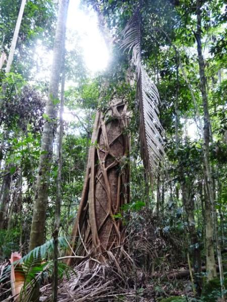 Big tree strangled by Strangler Figs.