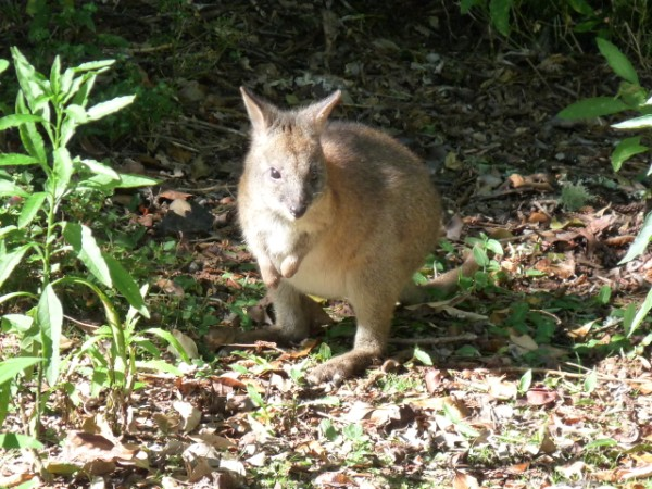 A Red Necked Pademelon Wallabi visiting.