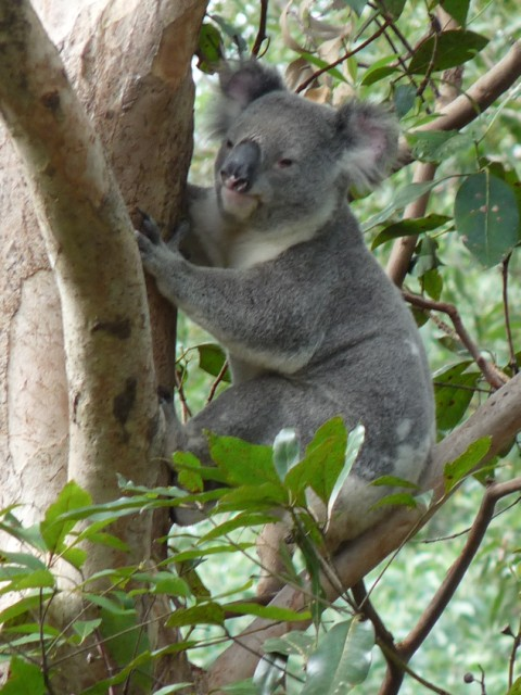 Koala in our garden.