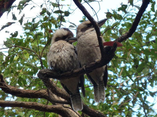 Hungry Kookaburras waiting for an opportunity.