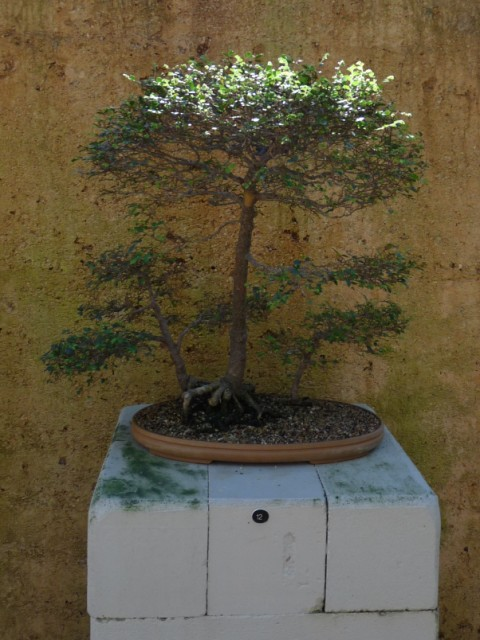 A Bonsai tree.