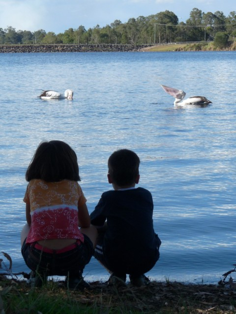 Pelicans at Lake Samsonvale.
