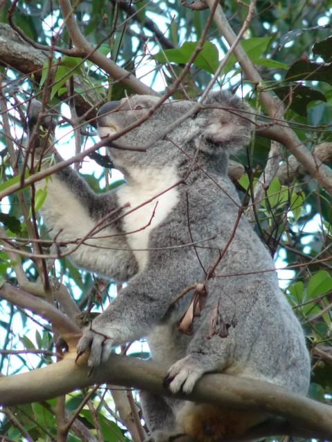 Koala in garden.