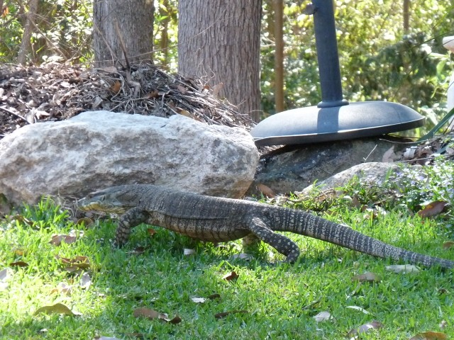 Lace monitor on or lawn.