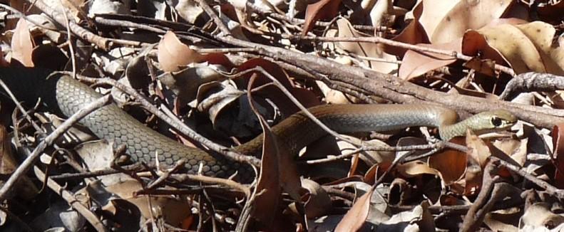 Green tree snake.